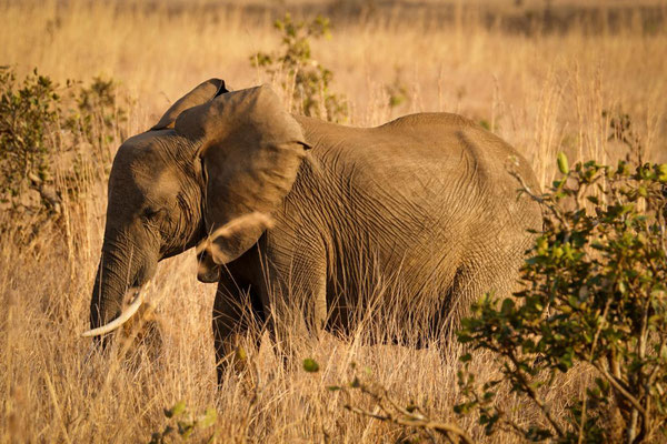 Elefant im Mikumi Nationalpark