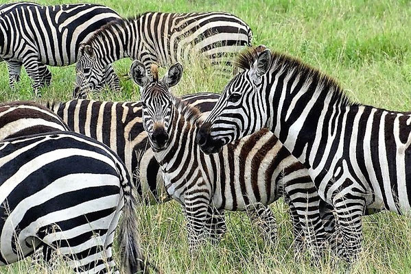 Zebras Tarangire Nationalpark Tansania Safari