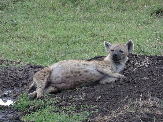Hyäne Kenia Safari Masai Mara