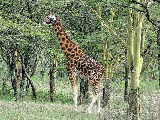 Giraffe Kenia Safari