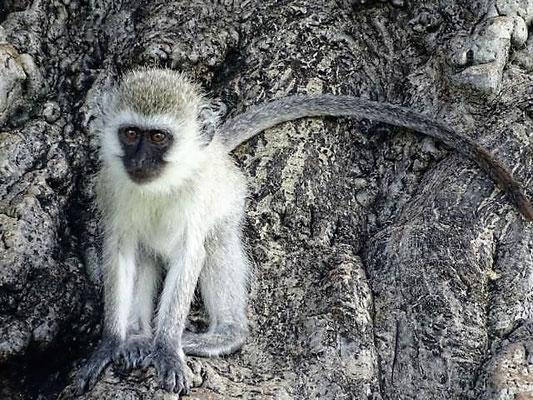 Affen Tarangire Nationalpark Tansania Safari