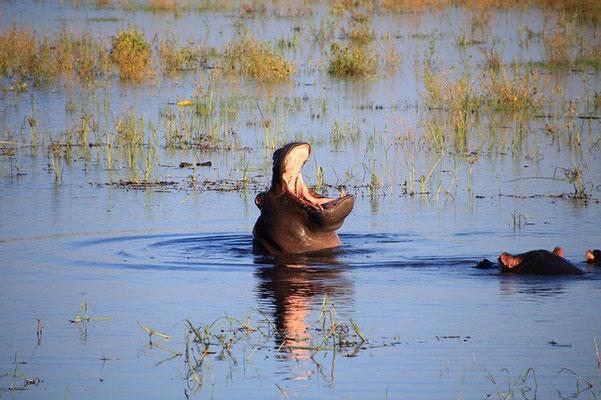 Flusspferd Botswana Safari