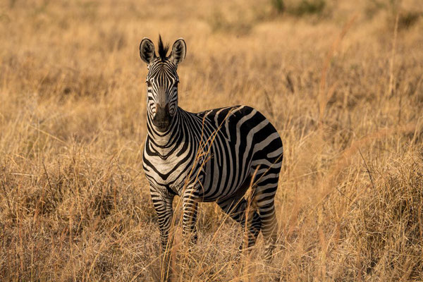 Zebra im Mikumi Nationalpark