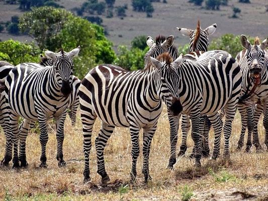 Zebras Masai Mara Kenia Safari