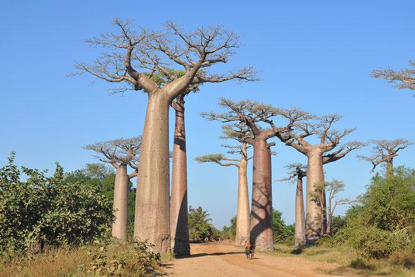 Baobabs Madagaskars