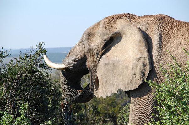 Elefant Südafrika Reise