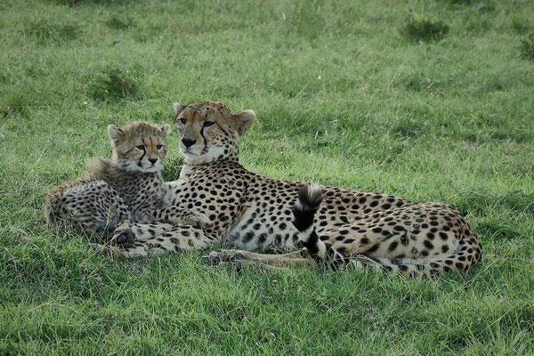 Geparden  Olare Motorogi Kenia Safari