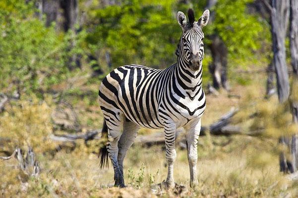Zebra Botswana Reise