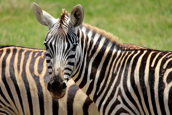 Zebra auf einer Tansania Safari