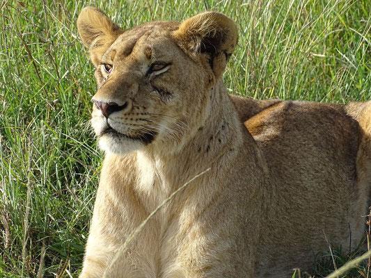 Löwe Masai Mara Kenia Safari
