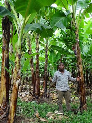 Bananenplantage Tansania