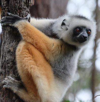 Lemur auf unserer Madagaskar Reise