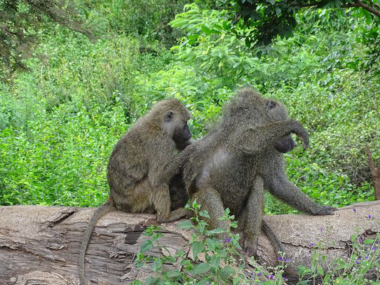 Paviane Arusha Nationalpark, Tansania Safari