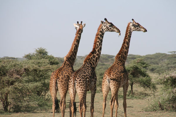 Giraffen auf einer Tansania Safari