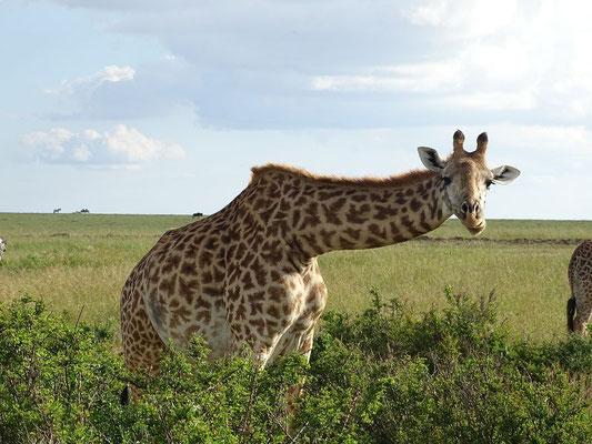 Giraffe in der Masai Mara Kenia Safari