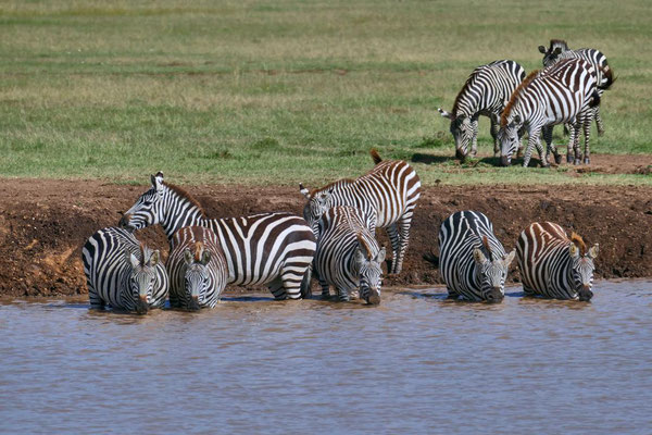 Zebras  Olare Motorogi Kenia Safari