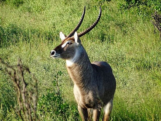 Wasserbüffel Saadani Nationalpark
