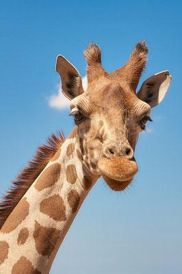 Giraffe Südafrika Reise