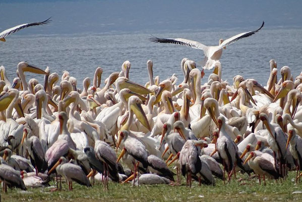 Vögel,  Lake Manyara Nationalpark, Tansania Safari