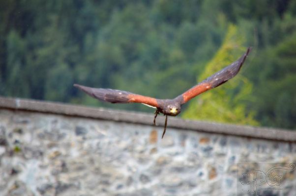 Die Greifvogel Flugvorführung