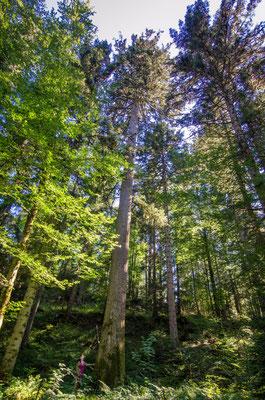 Sapin - Président de CHOUX (39) - Agence forestière