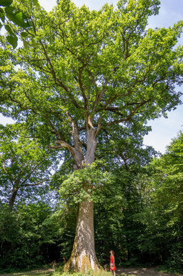 Chene de la Manche à CHEVIGNY  (39) - Agence forestière