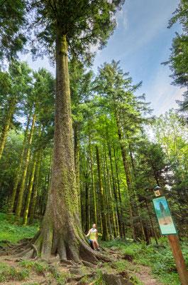 Sapin-Président de la forêt de Levier  (39) - Agence forestière
