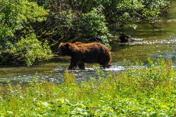 """Unser erster Grizzlybär, zu erkennen am """"Hocker"""" auf seinem Rücken."""