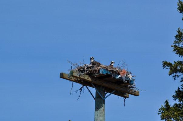 Weisskopfadler-Nest