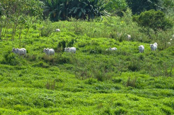 Kühe unterwegs zu den Krokodilen - hoffentlich nicht zu nahe