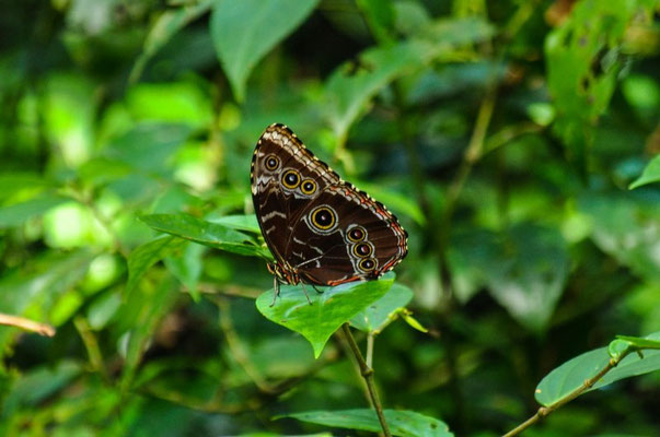Schmetterling zu