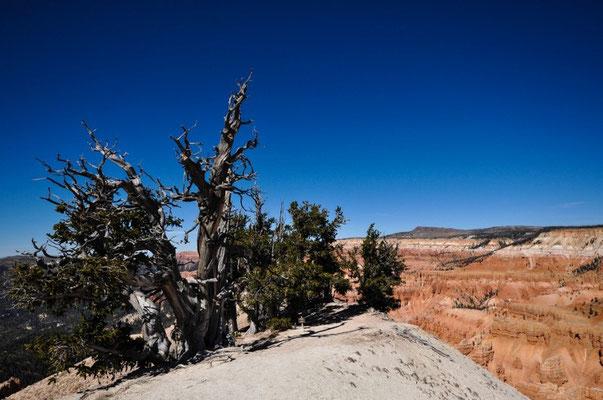 Uralter, ca. 5000 jähriger Baum