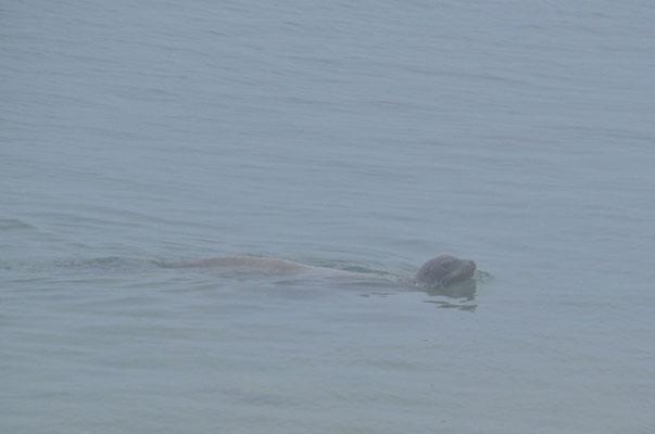 Nebeliger Morgen, das stört den Seelöwen jedoch nicht!