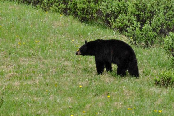 Wir sehen Bären en Masse, als wir Richtung Maligne Lake fahren
