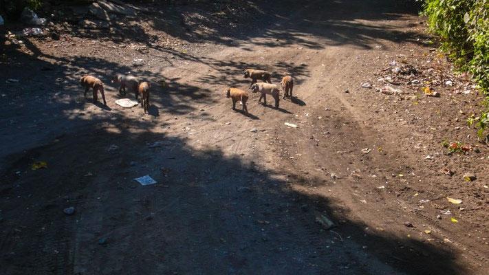 Kleine Schweinchen unterwegs im Dorf