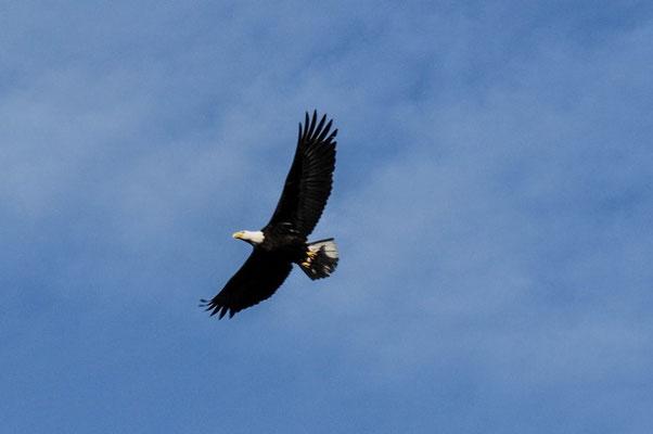 Weisskopfseeadler beobachten wir stundenlang am Chilkoot River