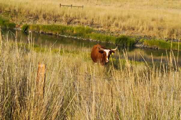 Kuh mit grossen Hörnern