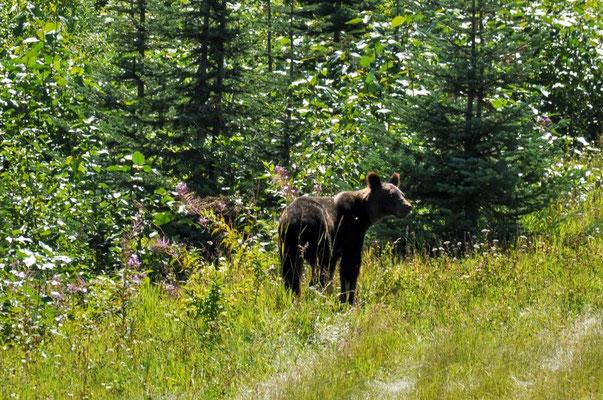 Diesen Bären sehen wir, als wir mit Christiane und Birger am Strassenrand quatschen, Richtung Stewart.