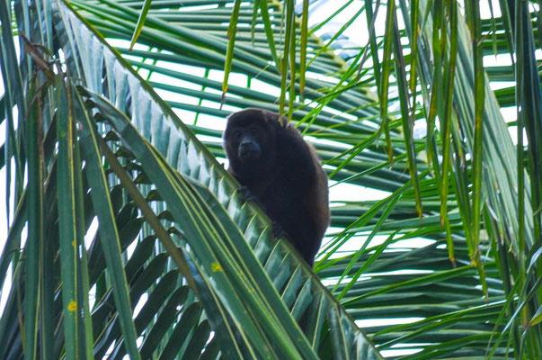 Eine Affenfamilie unterwegs in den Palmen des Campingplatzes