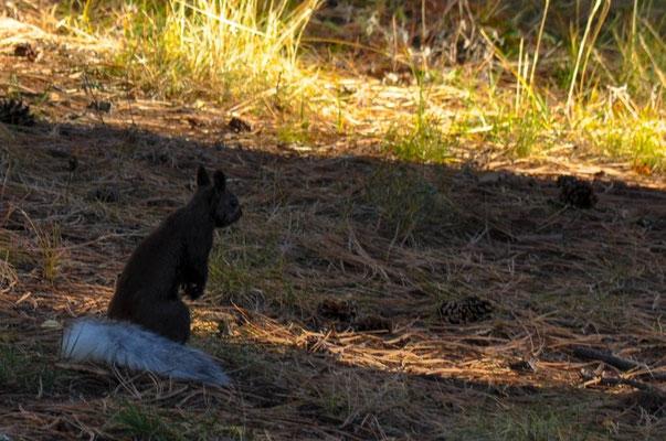Einheimisches, hübsches Eichhörnchen