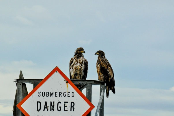Die nächsten Adler die warten