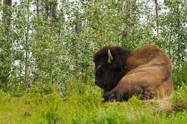 Riesssiiiiger Bison