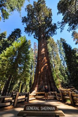 Der grösste Baum der Welt