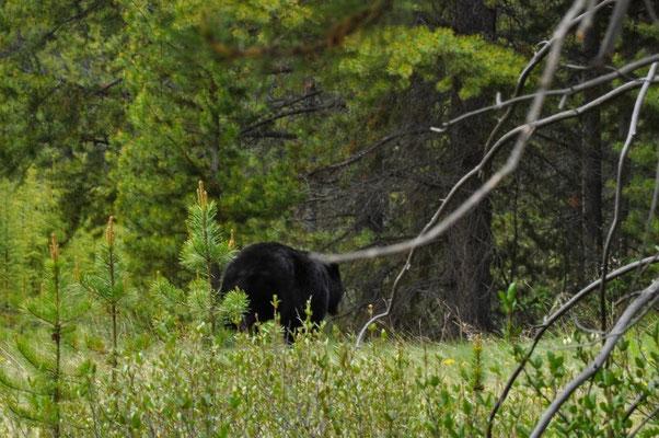 Dieser Schwarzbär war mit dem Blondchen unterwegs