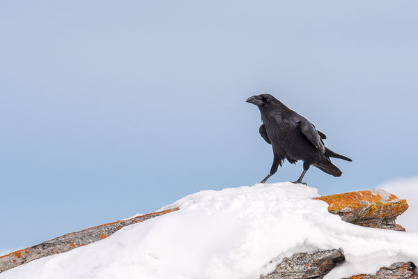 Kolkrabe (Corvus corax) / Common raven