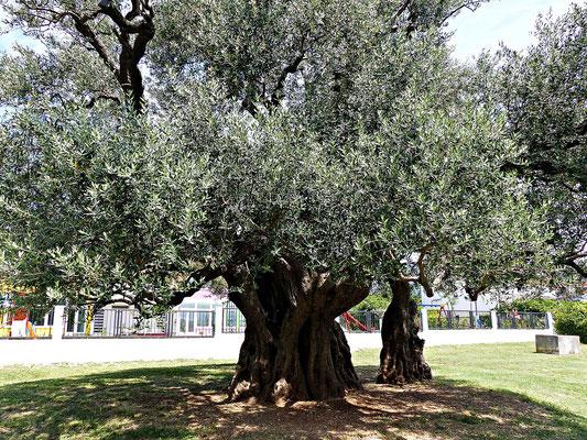 Der Olivenbaum Mastrinka