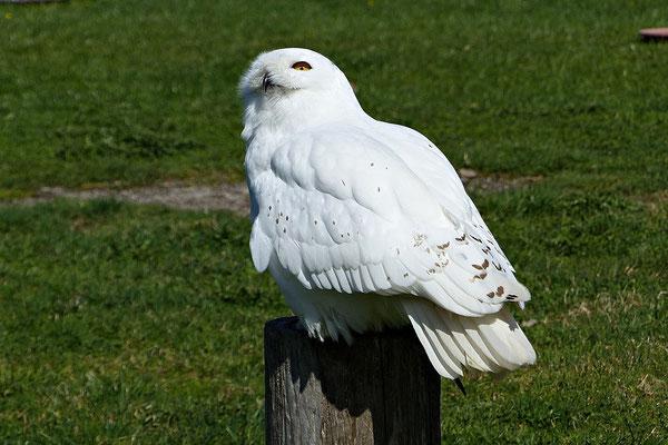 Schneeeule Hedwig