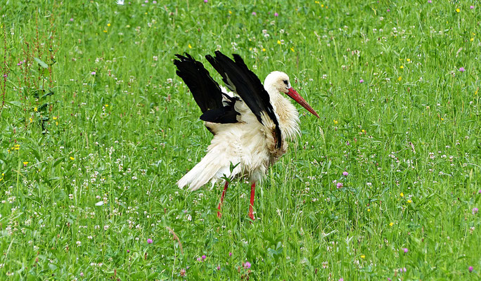 Storch im Gorski Kotar