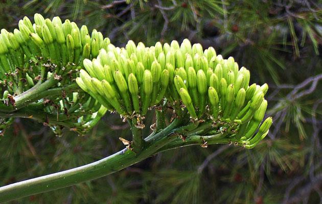 Blüte einer Agave