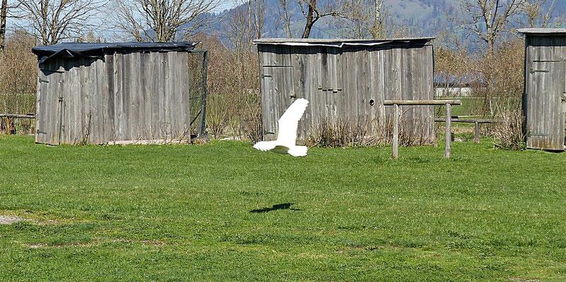Schneeeule Hedwig im Flug